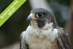 Science on the SPOT: Peregrine Falcons Up Close