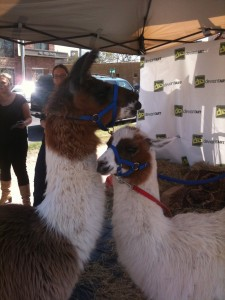 Two llamas under a tent at SXSW Interactive.