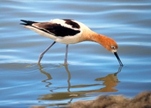 Avocet breeding plumage (photo by Judy Irving/Pelican Media)