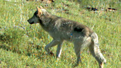 A wolf from OR7's pack in Oregon. (Oregon Department of Fish and Game)