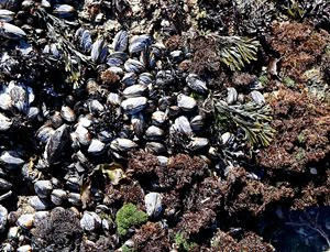 Scientists are concerned about the future of marine speices on the California coast, like this mussel bed.