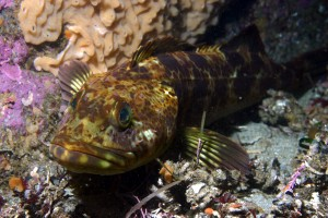 Lingcod are one of the fish species showing improvement in California's marine protected areas. (Steve Lonhart / Monterey Bay National Marine Sanctuary)