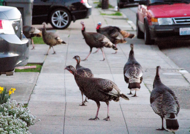 Turkeys taking a stroll in Albany. (Dan Brekke/KQED)