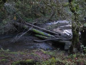 Marin County's Lagunitas Creek, home to a run of wild coho salmon. (Dan Brekke/KQED)