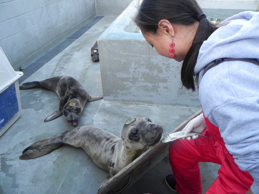 Rachel Loud, a volunteer at the Marine Mammal Center, feeds hungry seals. (Photo: Gina Scialabba)