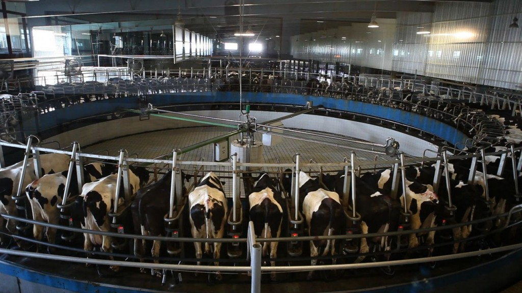 China is quickly building its own dairy industry, which experts say is in every way as modern and high-tech as California's. (Photo: Serene Fang/The Center for Investigative Reporting)