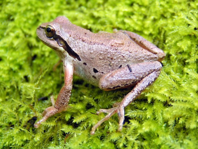 A new study identifies pesticides from Calfornia agriculture in Pacific Chorus Frogs (Pseudacris regilla) in the Sierra Nevda. (Sara Viernum/Flickr Creative Commons)