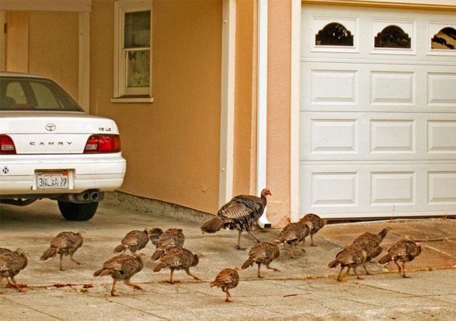 PhotoWeek130719turkeys
