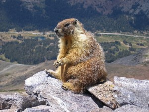 Not the Bernal Marmot, but a marmot nonetheless. This one on Mt. Dana in Yosemite. (Inklein/Wikipedia)