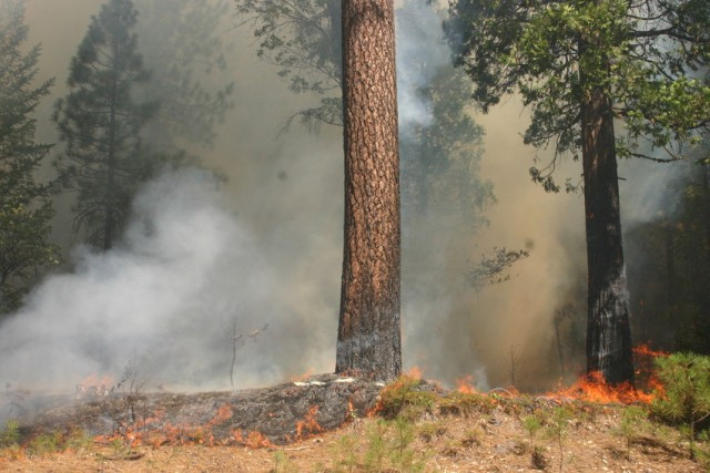 "Fire burned within a dozen or so feet of Highway 120 between Cherry Lake Road and the Yosemite National Park entrance on Aug. 26. Firefighters believe these flames ""spotted,"" or jumped, to this location as embers were carried by the wind. (Grace Rubenstein/KQED)"