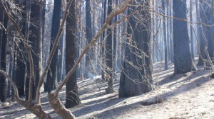 A layer of ash covers the forest floor. (Mike McMillan/U.S. Forest Service)