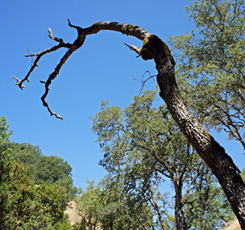 A dead blue oak tree at the Blue Oak Ranch Reserve near San Jose. (Lauren Sommer/KQED)