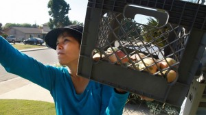 Sarah Ramirez gleans apples from a front yard in Visalia. (Scott Anger/KQED)