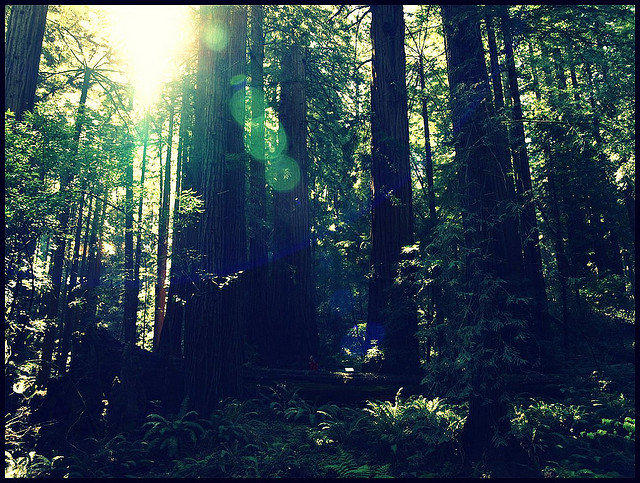 The redwoods at Muir Woods. (POP1963 / Flickr)