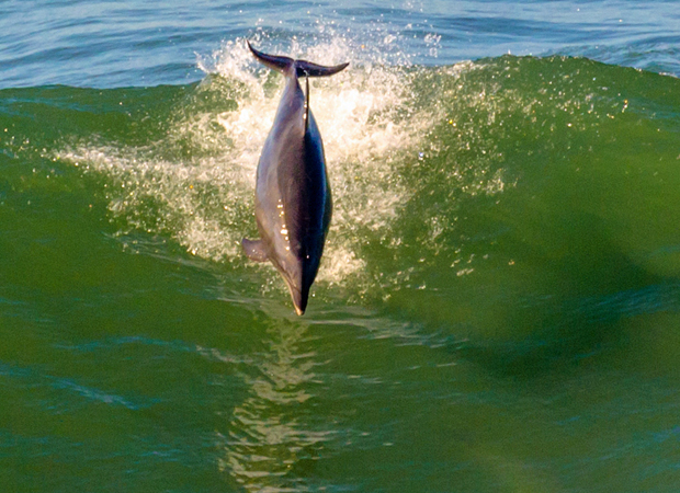 Dolphins from an Ocean Beach pod were spotted leaping from the waves near Sutro Baths. (David Cruz / Ocean Beach Bulletin)