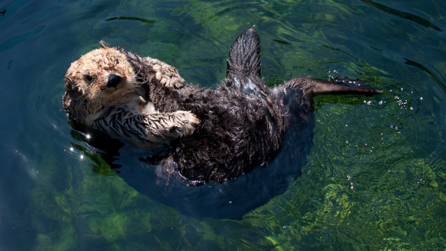 Otters Take On Urchins in Underwater Climate-Change Drama
