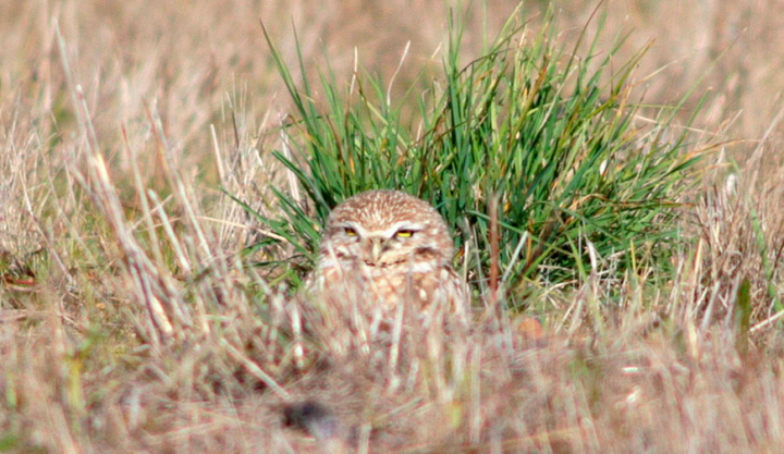 Early morning visitors to Cesar Chavez Park say they've seen burrowing owls for the past month. (Alex Madonik / Berkeleyside)