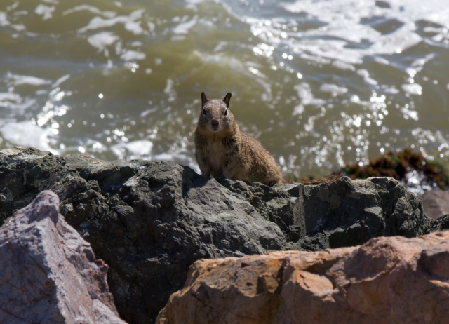 Ground squirrel at Berkeley's Cesar Chavez Park. (Bill Williams/Flickr Creative Commons)