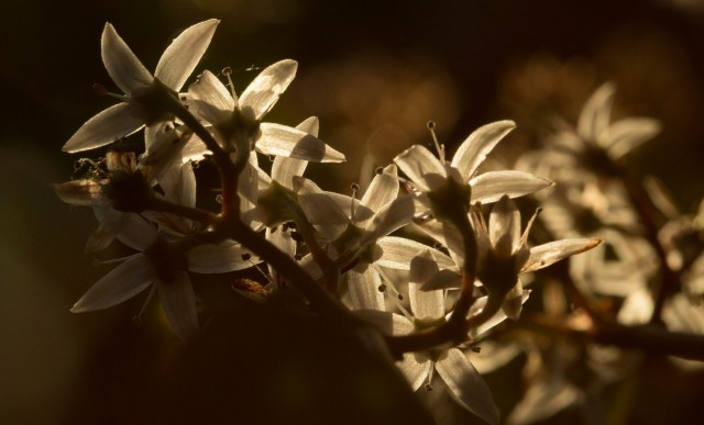 Jade flowers. Technically, they're winter bloomers. But they're happy to see the sun, anyway. (Dan Brekke/KQED)