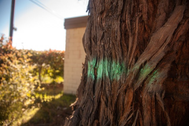 Carol Silver, who works nearby, said she saw workers marking the tree around lunchtime on Wednesday. (Mark Andrew Boyer/KQED)