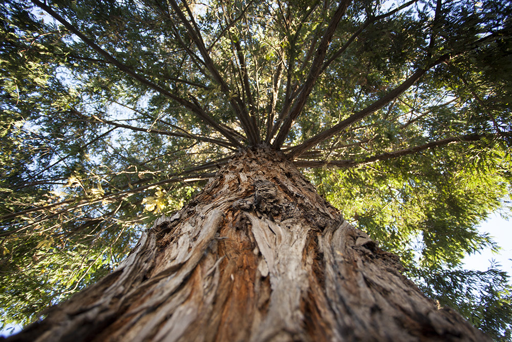 Because of the albinism, the tree has a mix of green and yellowish-white needles (Mark Andrew Boyer/KQED)