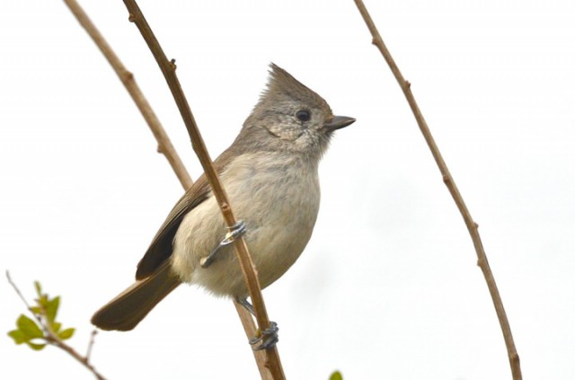 An Oak Titmouse, one of the many species birders hope to spot on the Cal campus during Birding's Big Game on April 13. (Linda Tanner/Berkeleyside)