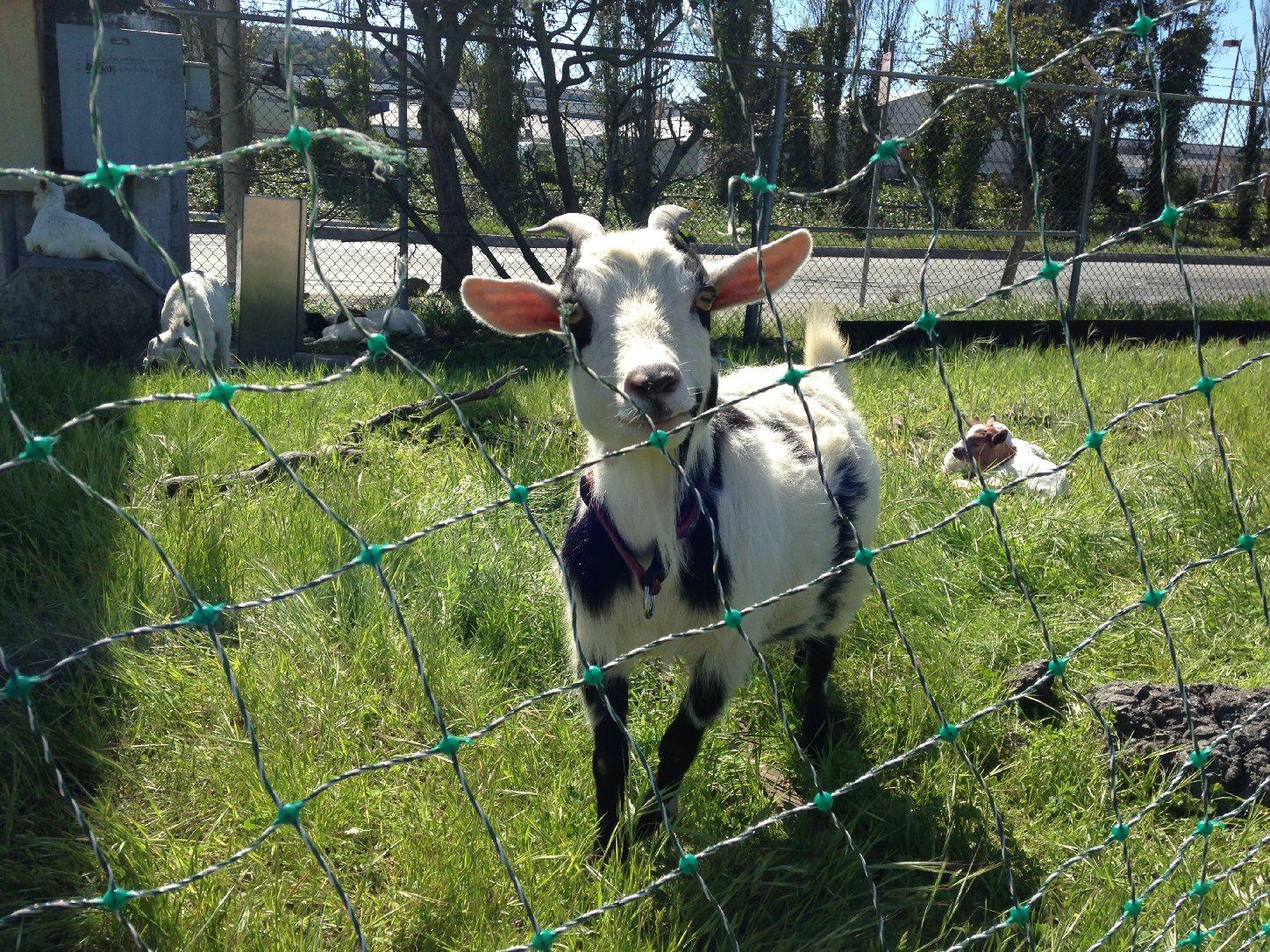 San Francisco-Based Landscaper Adds Baby Goats to its Urban Herd