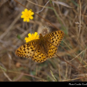 Behrens silver-spot butterfly, an endangered species found at the new Point Arena unit of the California Coastal National Monument. (Gordon Pratt via U.S. Fish and Wildlife Service)