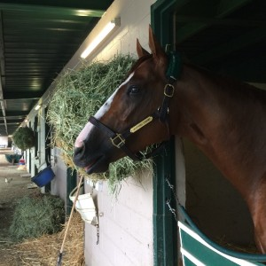 The 3-year-old thoroughbred enjoys a quiet moment in his stable. (Julia McEvoy/KQED)