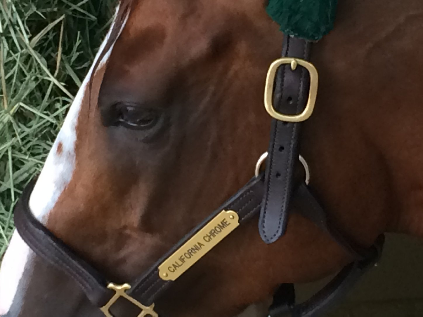 California Chrome will try to be the first Cal-bred horse to win the Kentucky Derby since 1962. (Julia McEvoy/KQED)