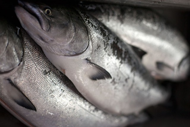 Fresh-caught salmon sit on ice at TwoXSea at Pier 45 (Mark Andrew Boyer/KQED)