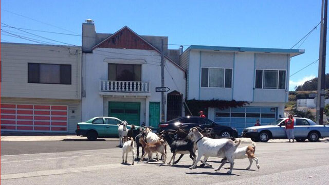 A herd of goats escape from their enclosure in the Bayview District. (Courtesy @BayviewHeights)