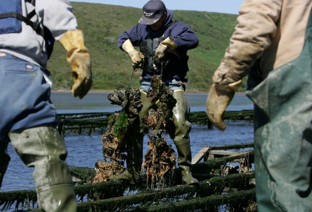 Drakes Bay Oyster Co. workers harvest strings of oysters on Schooner Bay at Point Reyes. (Justin Sullivan/Getty Images)