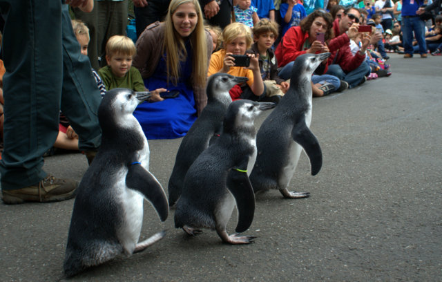 Zoo visitors, mostly families with children, eagerly awaited the young penguins' march. (Tom Prete/Ocean Beach Bulletin)