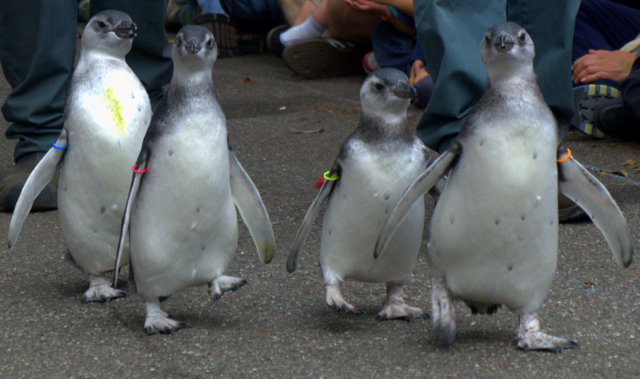 Four young penguins at the San Francisco Zoo joined the zoo's penguin colony Saturday. (Tom Prete / Ocean Beach Bulletin)