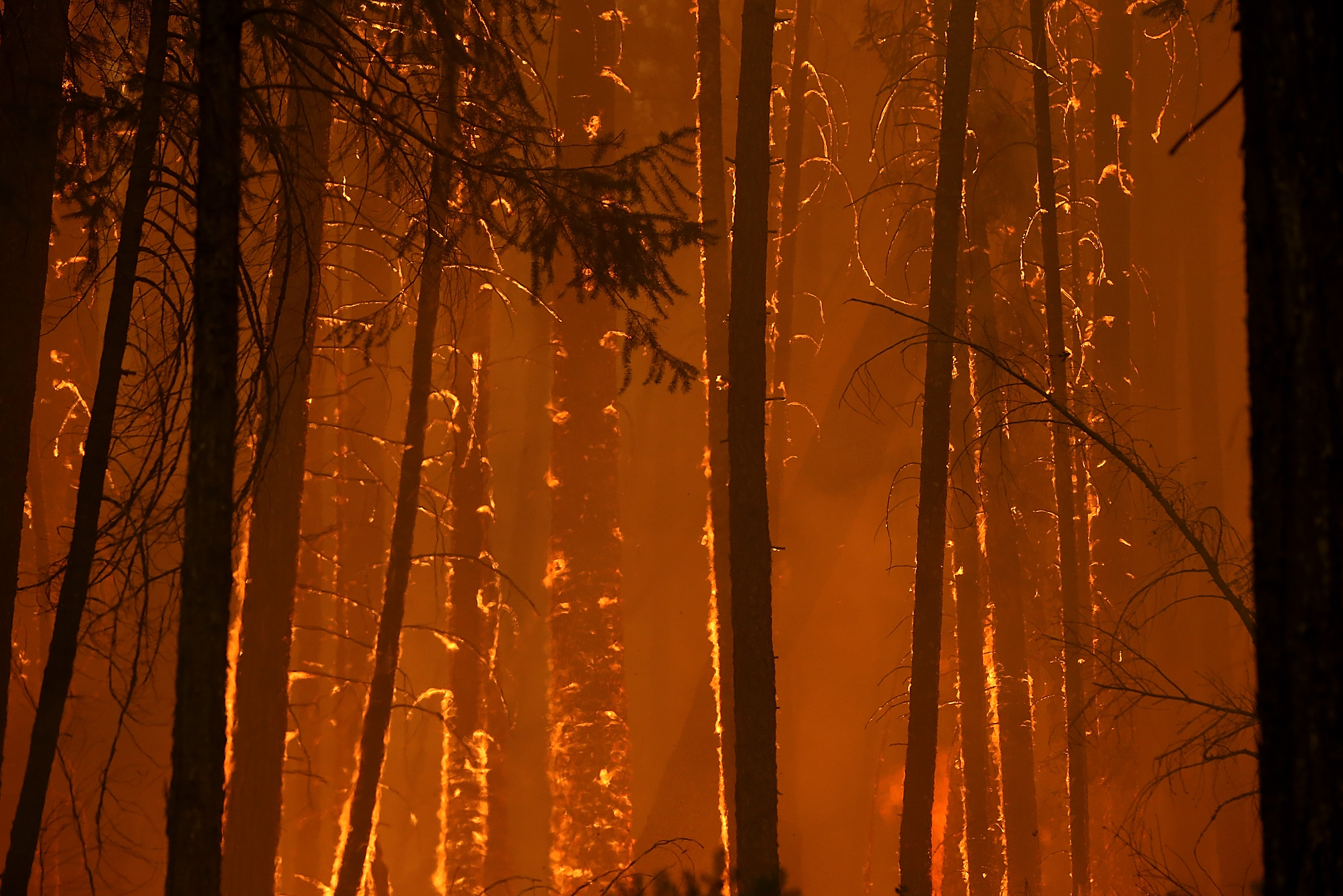 Flames from Rim Fire consume trees on Aug. 25, 2013 near Groveland, California. (Justin Sullivan/Getty Images)