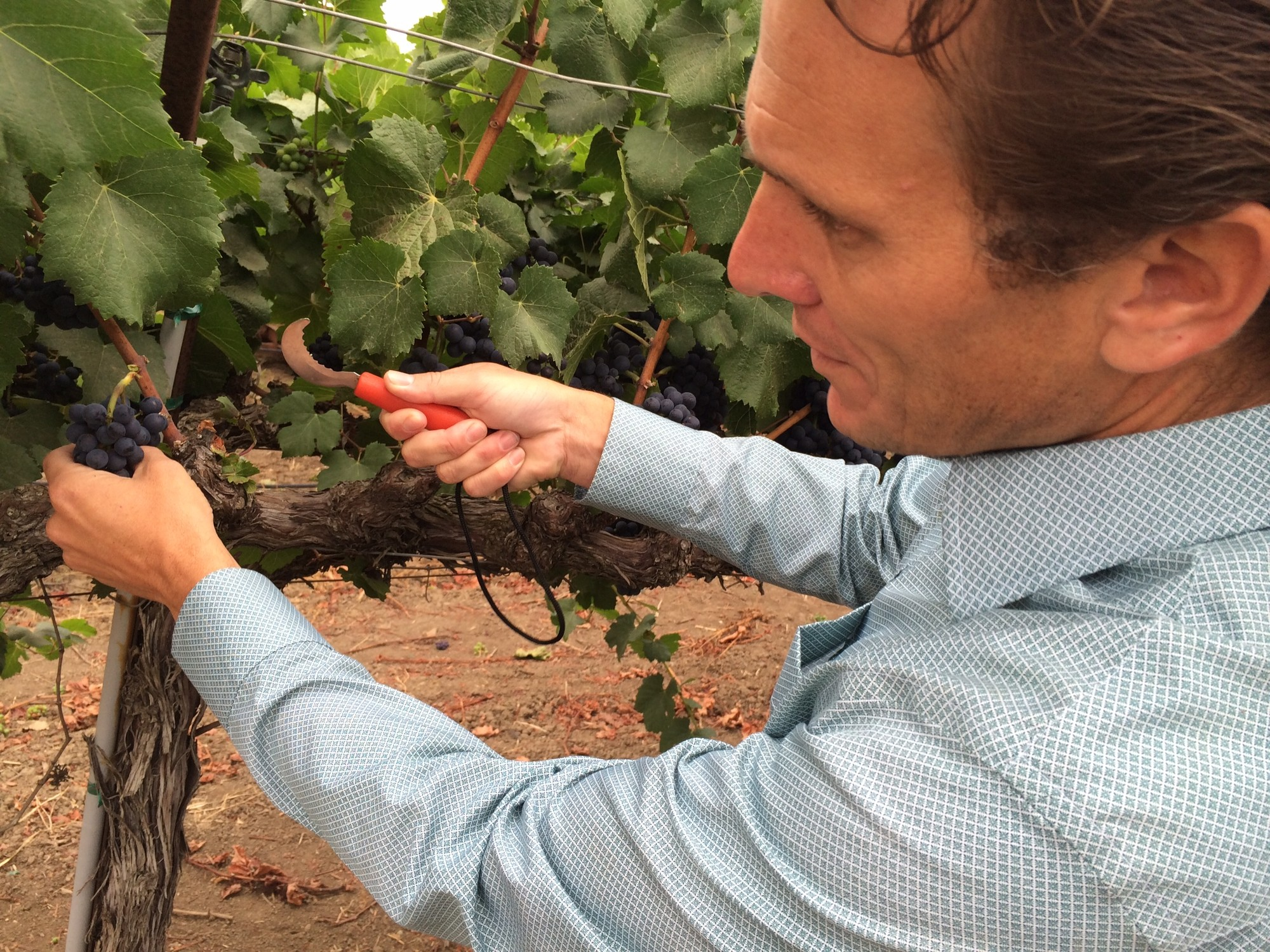 Jon Ruel, president of Trefethen Family Vineyards in the Napa Valley, examines pinot noir grapes to be harvested. (Mina Kim/KQED)