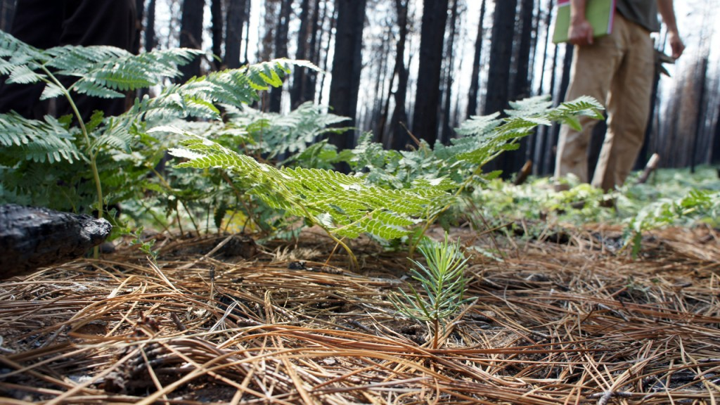 A pine tree seedling emerges in a burned area of the Stanislaus National Forest. (Lauren Sommer/KQED)