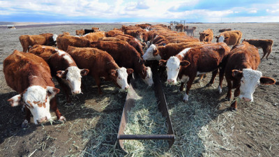 Beef cattle feed on hay. (FREDERIC J. BROWN/AFP/Getty Images)