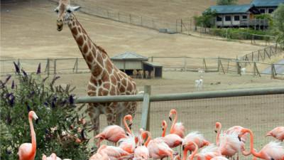 A giraffe stands beside a flamingo enclosure at Safari West in Santa Rosa. (Angela Rowell/KQED)