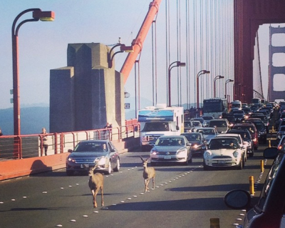 A pair of deer that appeared on the Golden Gate Bridge during Friday's rush hour .(RebeccaAbbey via Twitter)