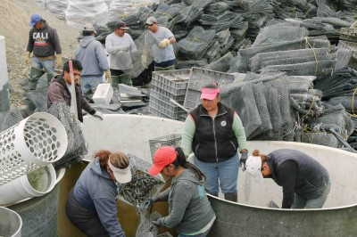 Workers at the Drakes Bay Oyster Co. work on breaking down the operation's equipment  after the company lost a court decision earlier this year. (Jeremy Raff/KQED)