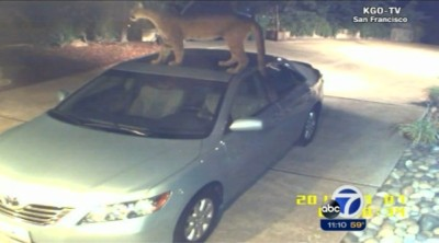 Frame of home-security video showing mountain lion on San Jose resident's car. (ABC7-KGO)
