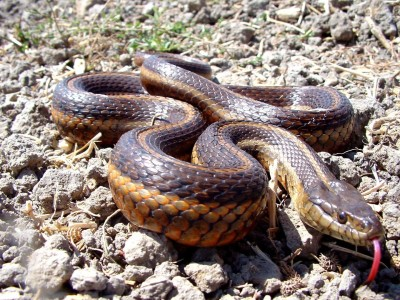 The giant garter snake is listed as a threatened species at the state and federal levels. It depends on water both to find meals and avoid becoming one. (Eric C. Hansen/CA Department of Fish and Wildlife)