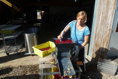 Good Land's Lindsey McManus puts coffee cherries through the de-pulper. (Lisa Morehouse/KQED)