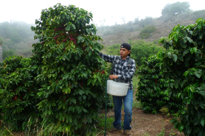 Sammy Venegas leads a crew of workers harvesting coffee at Good Land Organics.  He comes from a long line of Oaxacan coffee growers and harvesters. (Lisa Morehouse/KQED)
