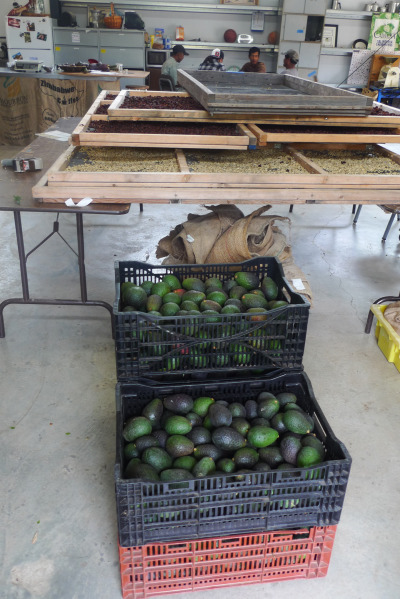 Coffee beans dry for about 2 weeks on trays next to boxes of avocados. Coffee and avocados grow together in parts of Central America, and this pairing might make sense in California, too. (Lisa Morehouse/KQED)