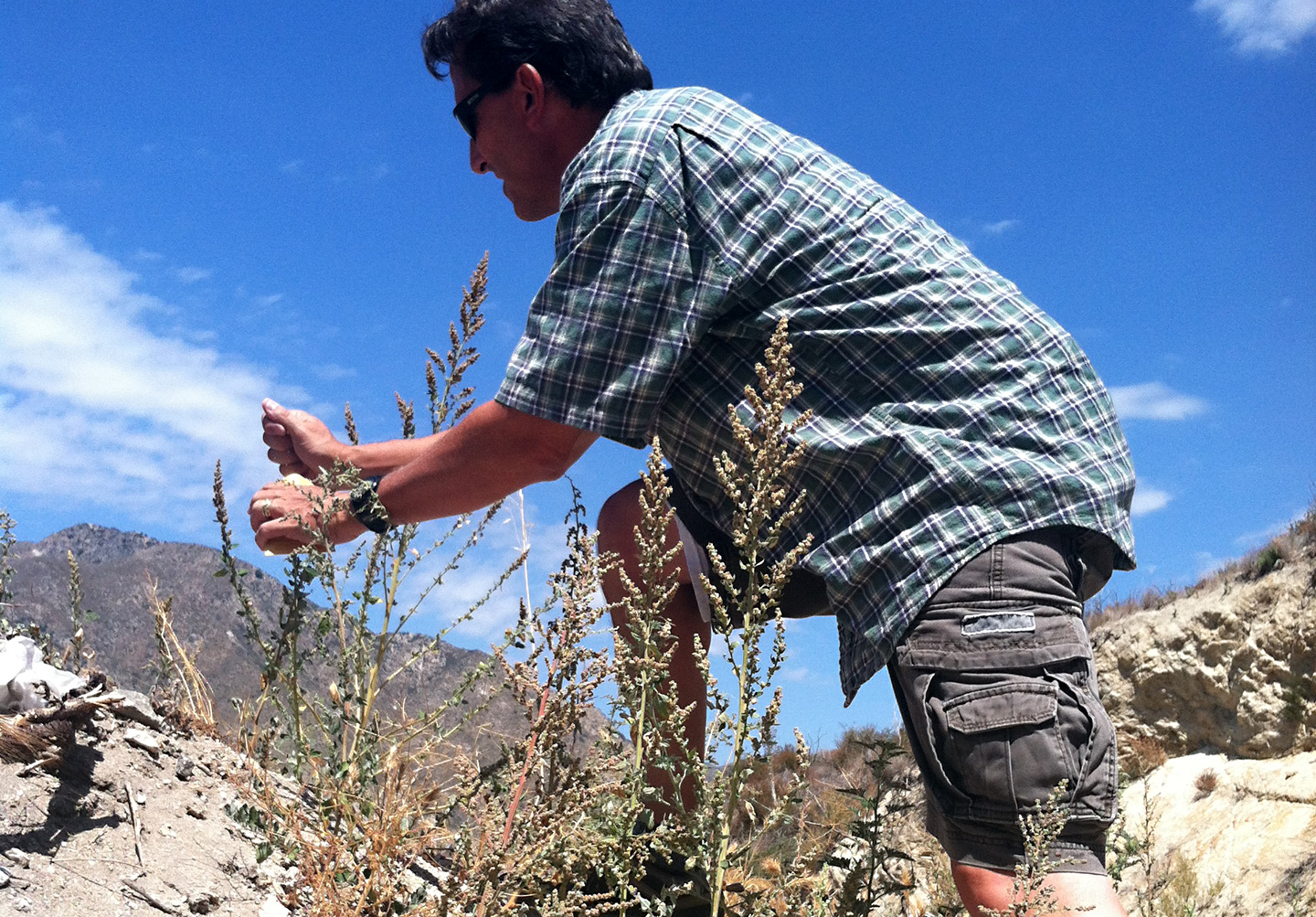 Rick Jellen collects varieties of wild quinoa on the side of the road throughout Los Angeles. (Casey Miner/KQED)