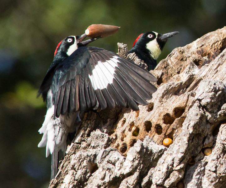 Acorn Woodpeckers storing acorns. (Larry and Dena Hollowood/Berkeleyside)