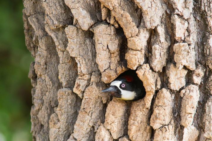 An Acorn Woodpecker. (Larry and Dena Hollowood/Berkeleyside)